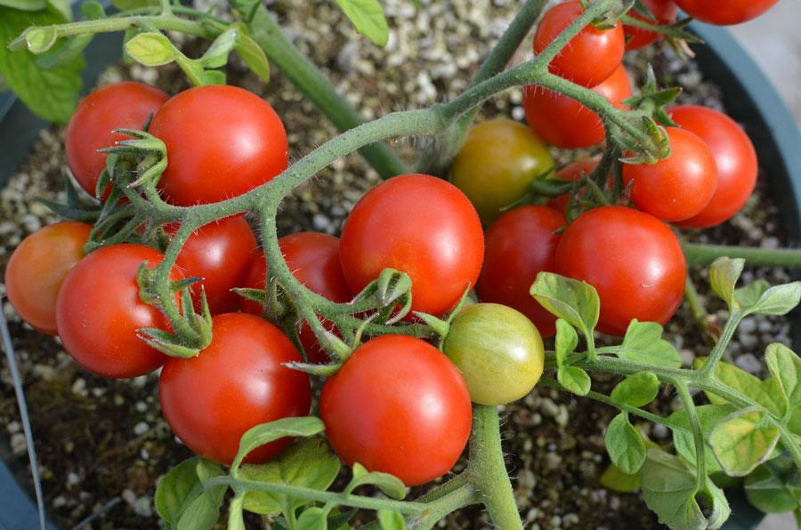 когда сеять помидоры на рассаду в 2021 году: сроки посева по регионам, благоприятные дни по Лунному календарю фото