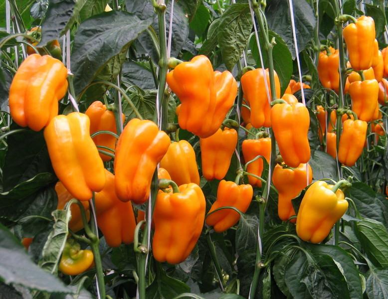 лучшие сорта перцев на 2021 год: самые вкусные новинки, урожайные, коллекционные от селекционеров фото
