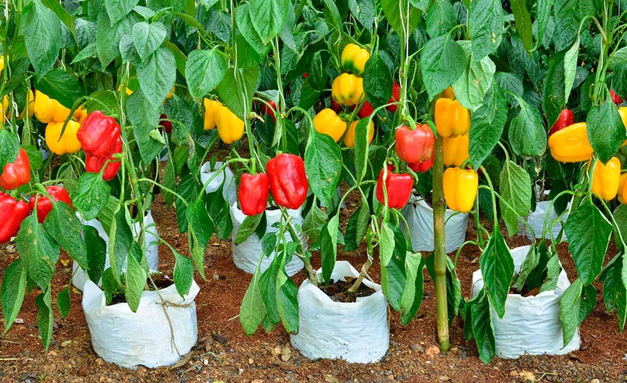 рекомендации по выращиванию перца фото