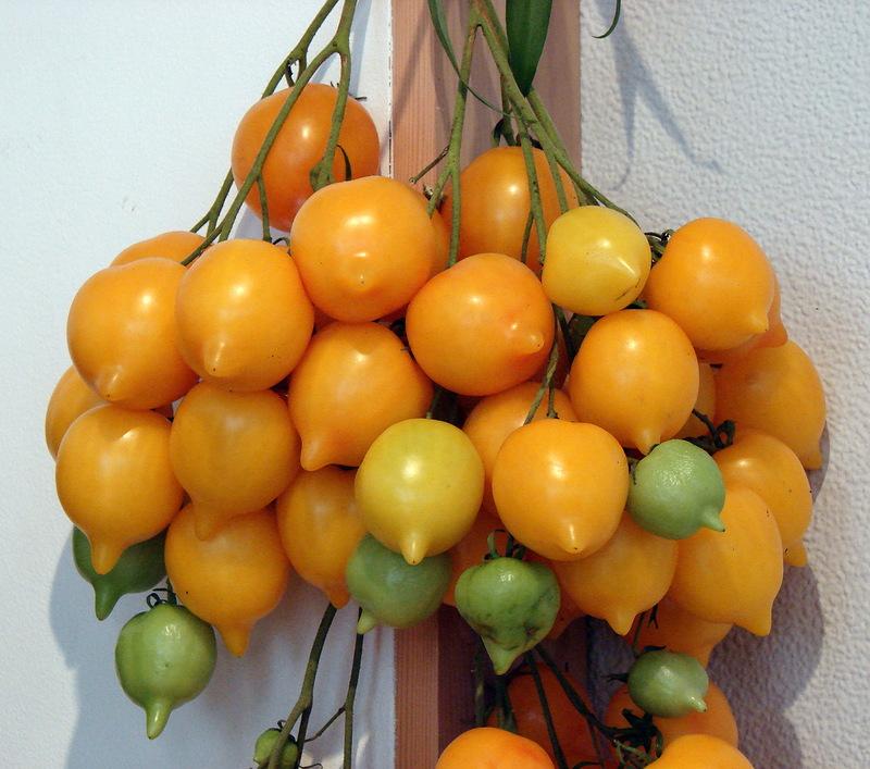 экзотические и редкие сорта томатов от Попенко Валерия Дмитриевича фото 4