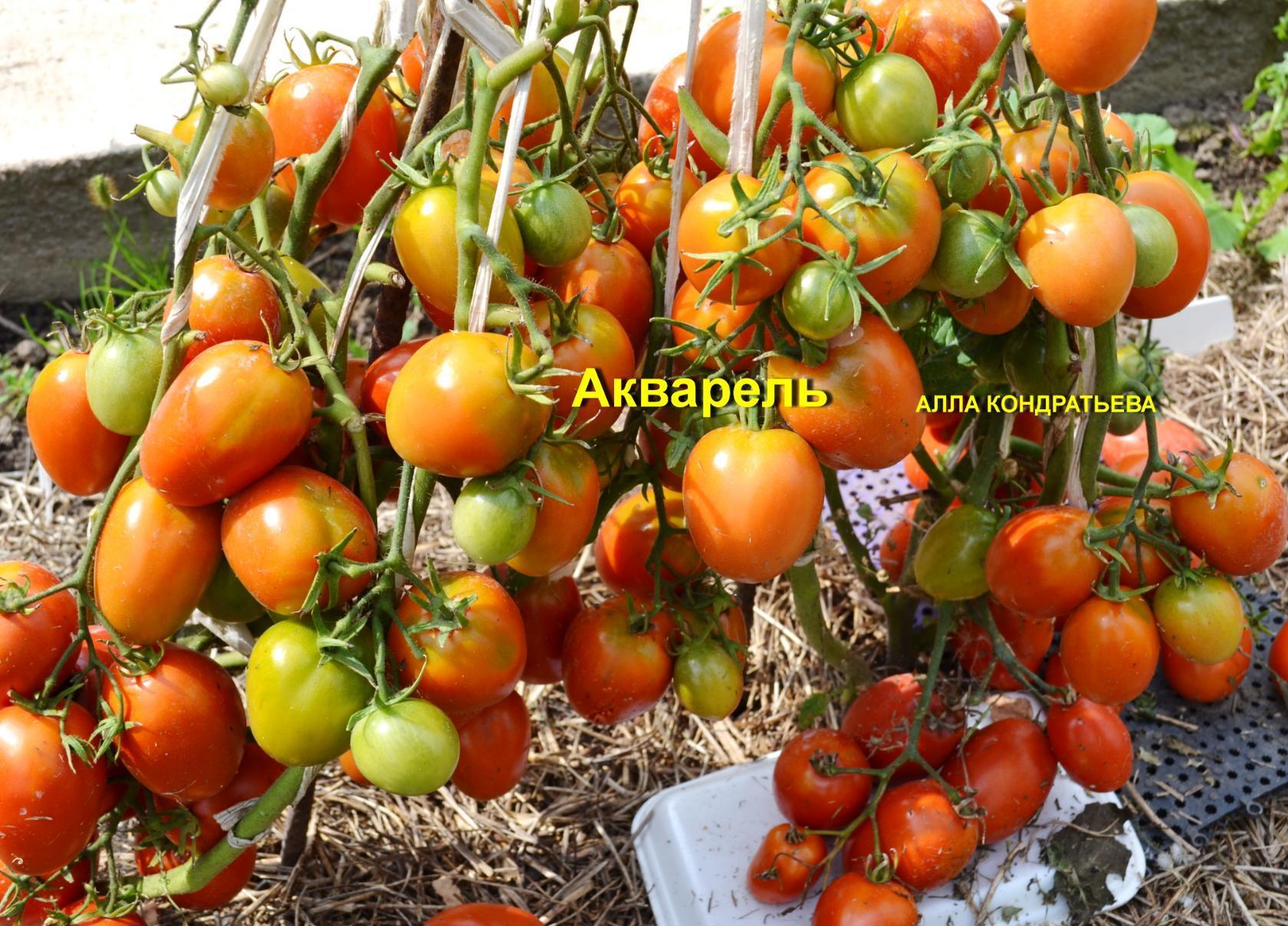 помидоры от Аллы Кондратьевой фото 2