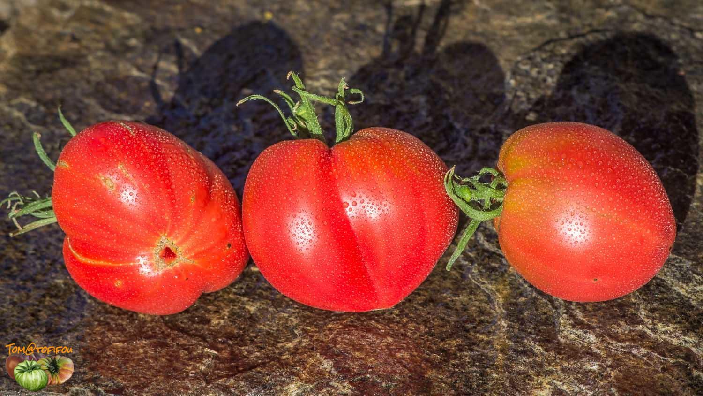 томаты от Лидии Ганзен фото 1