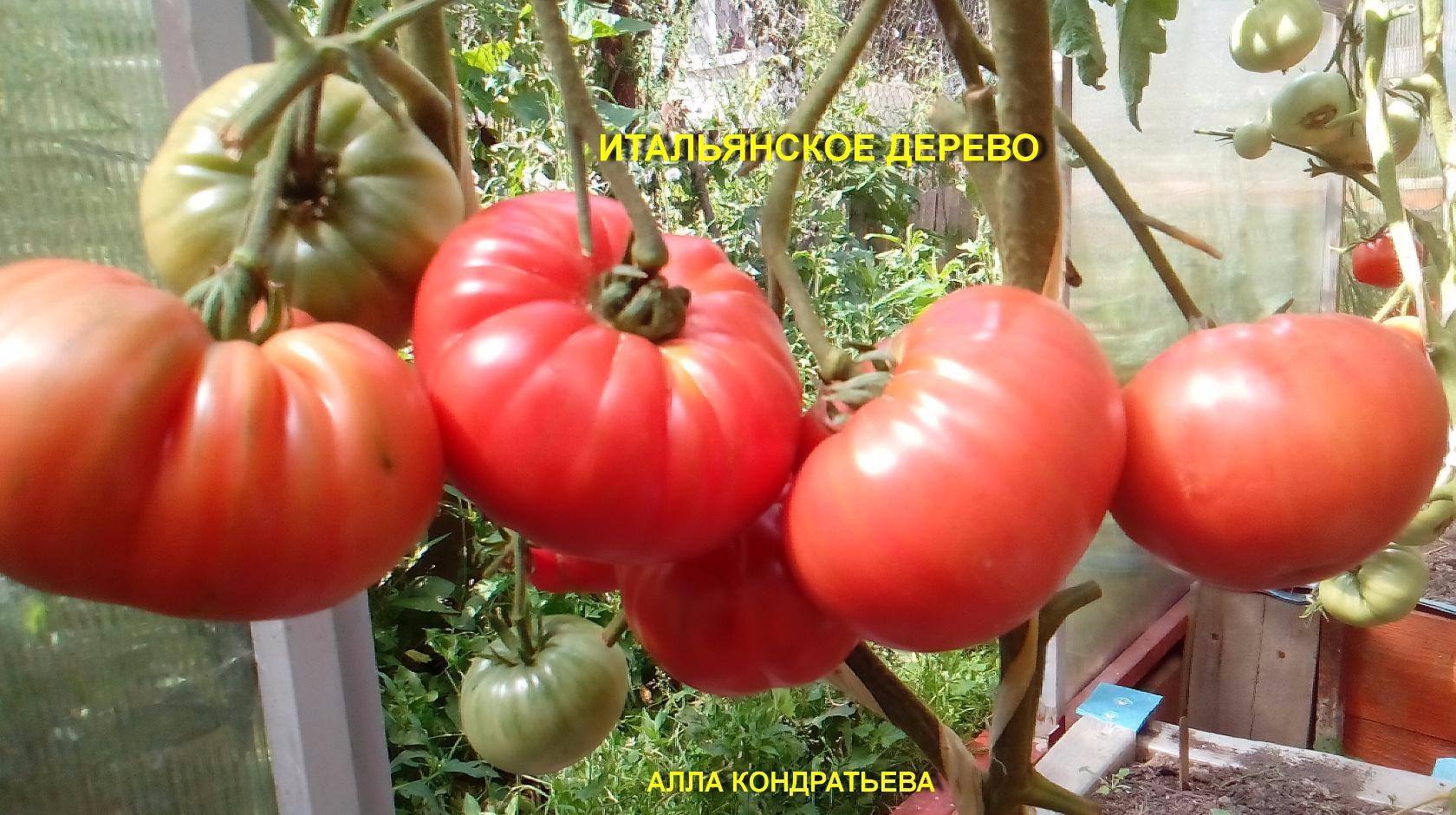 помидоры от Аллы Кондратьевой фото 5