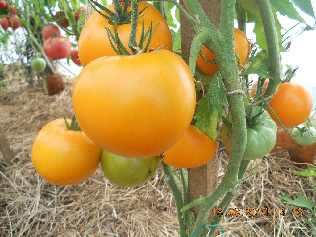 лучшие урожайные сорта для открытого грунта фото 7