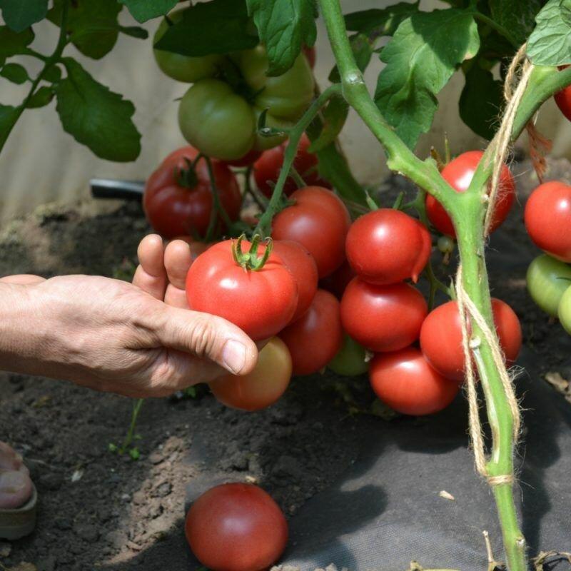 лучшие урожайные сорта для открытого грунта фото 8
