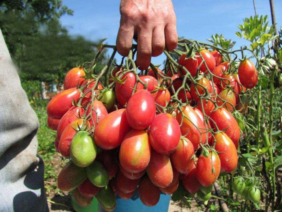 высокорослые помидоры, описание и фото 4