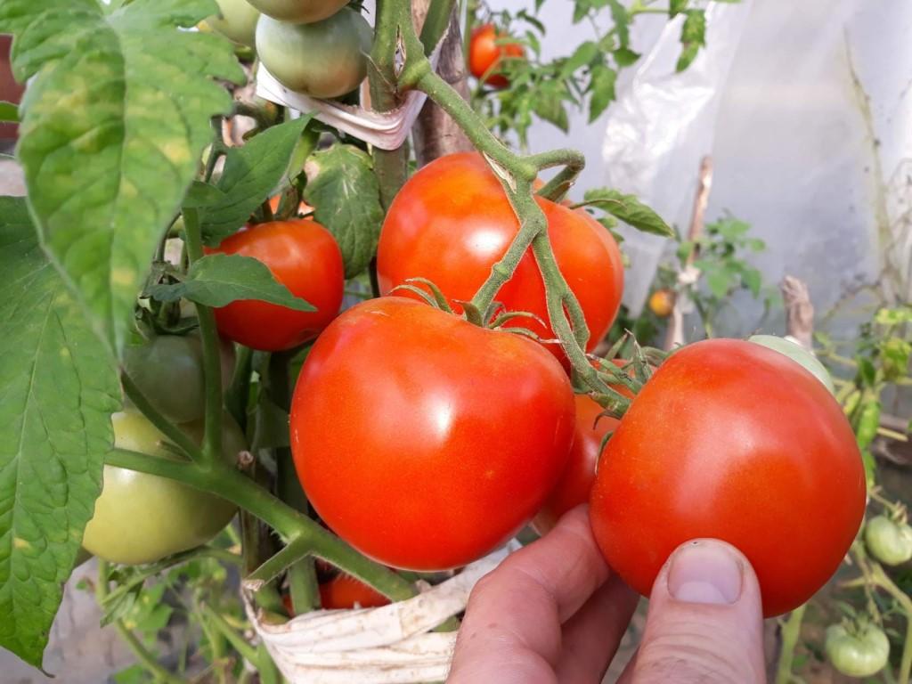 лучшие гибриды томатов F1 2021 года фото 2