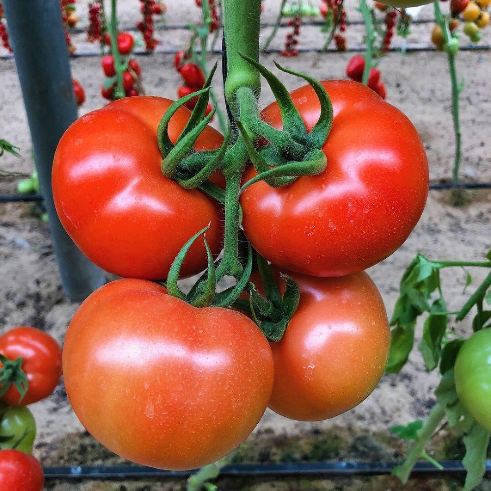 лучшие гибриды томатов F1 2021 года фото 3