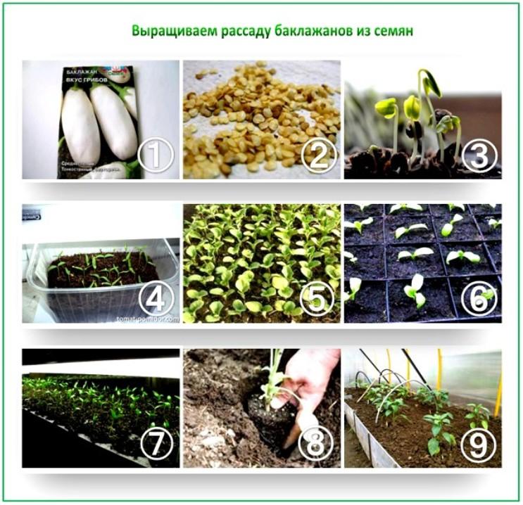 сколько дней замачивать семена баклажан