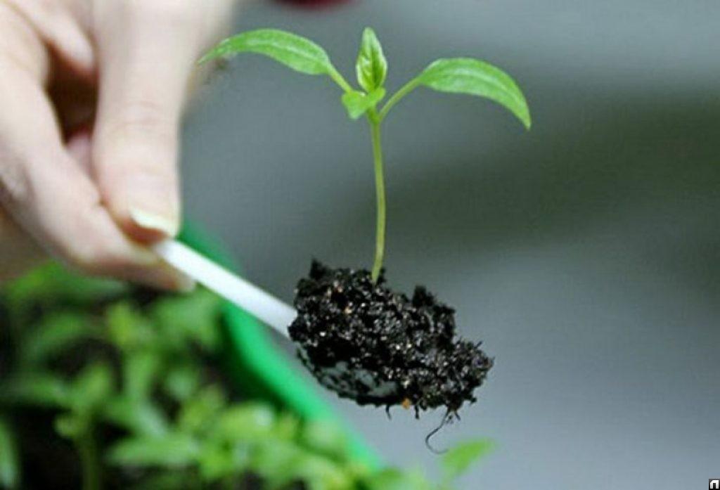 пикировка растения в отдельные емкости фото