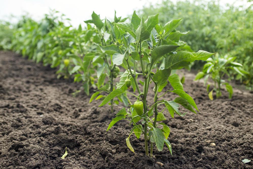 регулярный уход и выращивание перца в 2021 году фото
