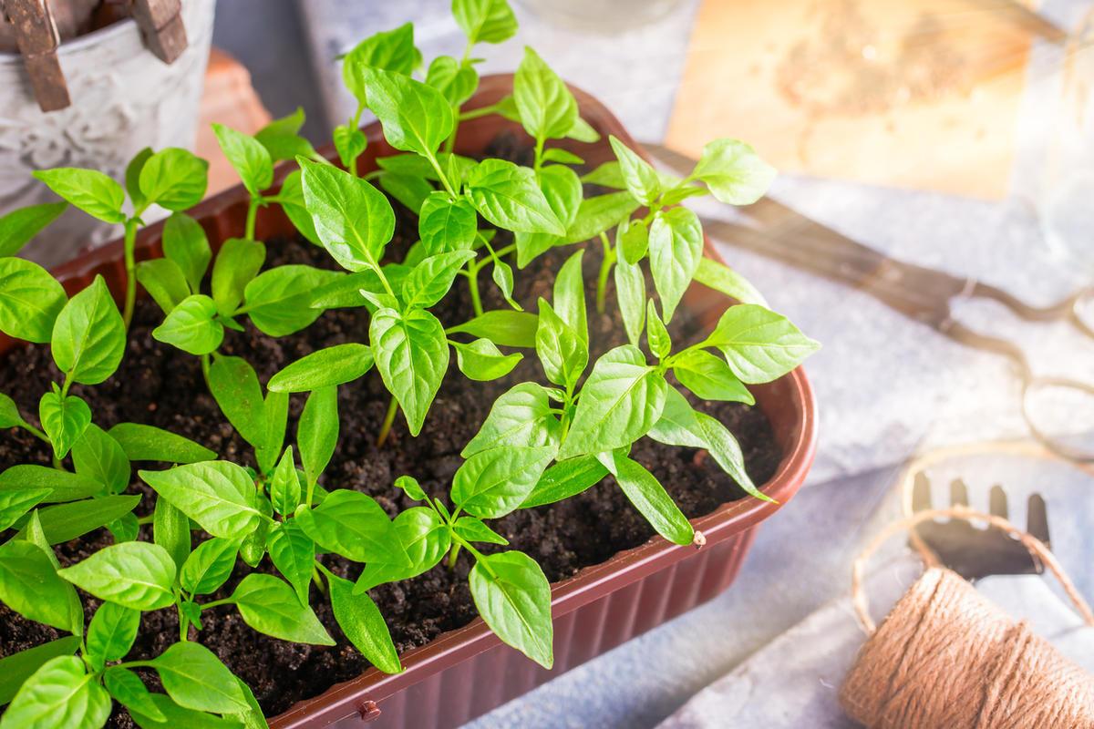 особенности выращивания перца в теплицах фото