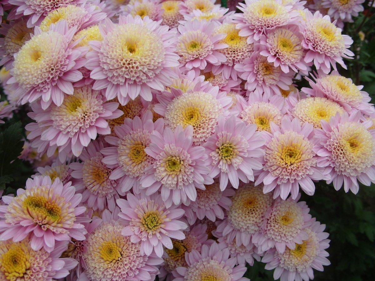 №5 - посев хризантемы фото