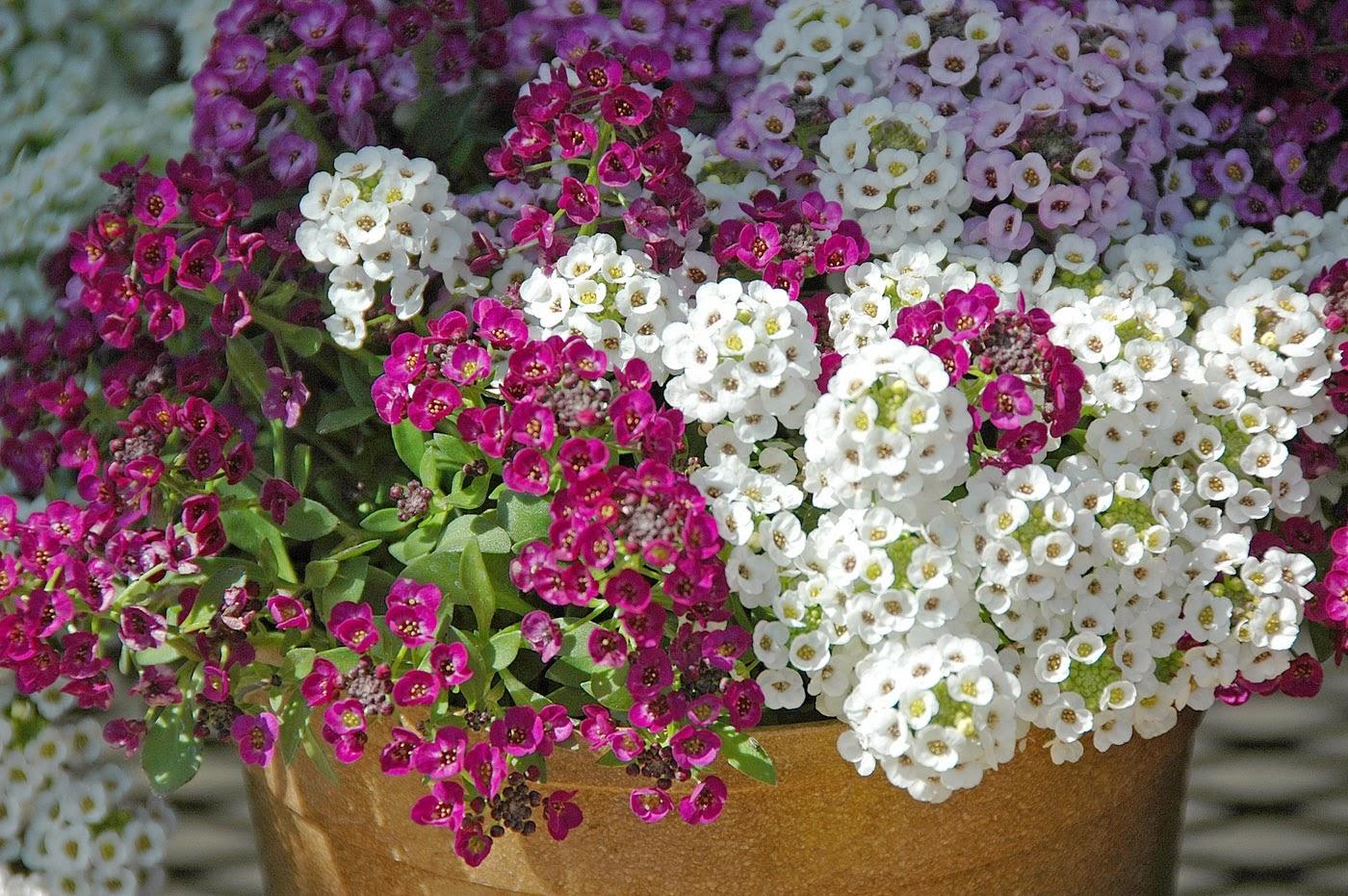 однолетние цветы для посева на рассаду в феврале, список фото