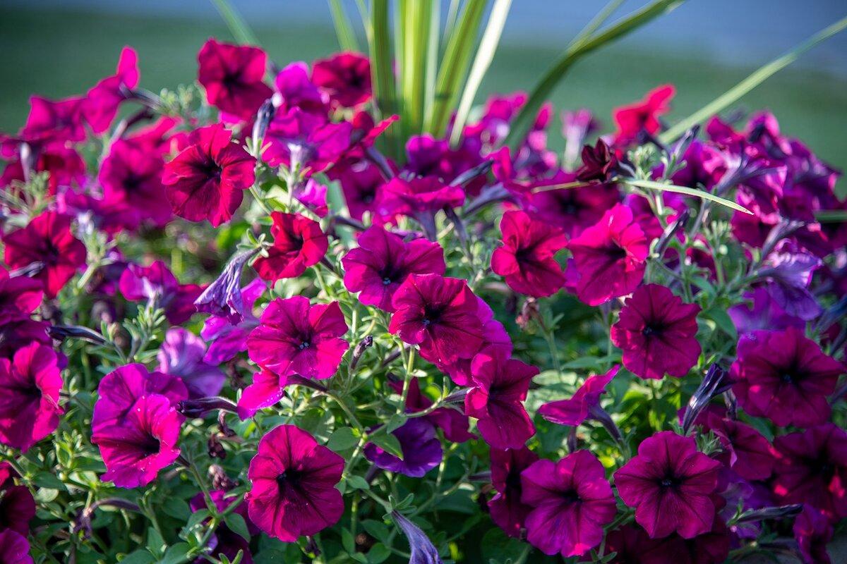 петуния, посев на рассаду фото 1