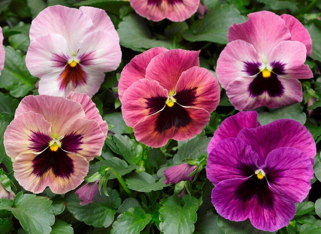 двулетние и многолетние цветы для посева на рассаду в феврале, названия с фото 1