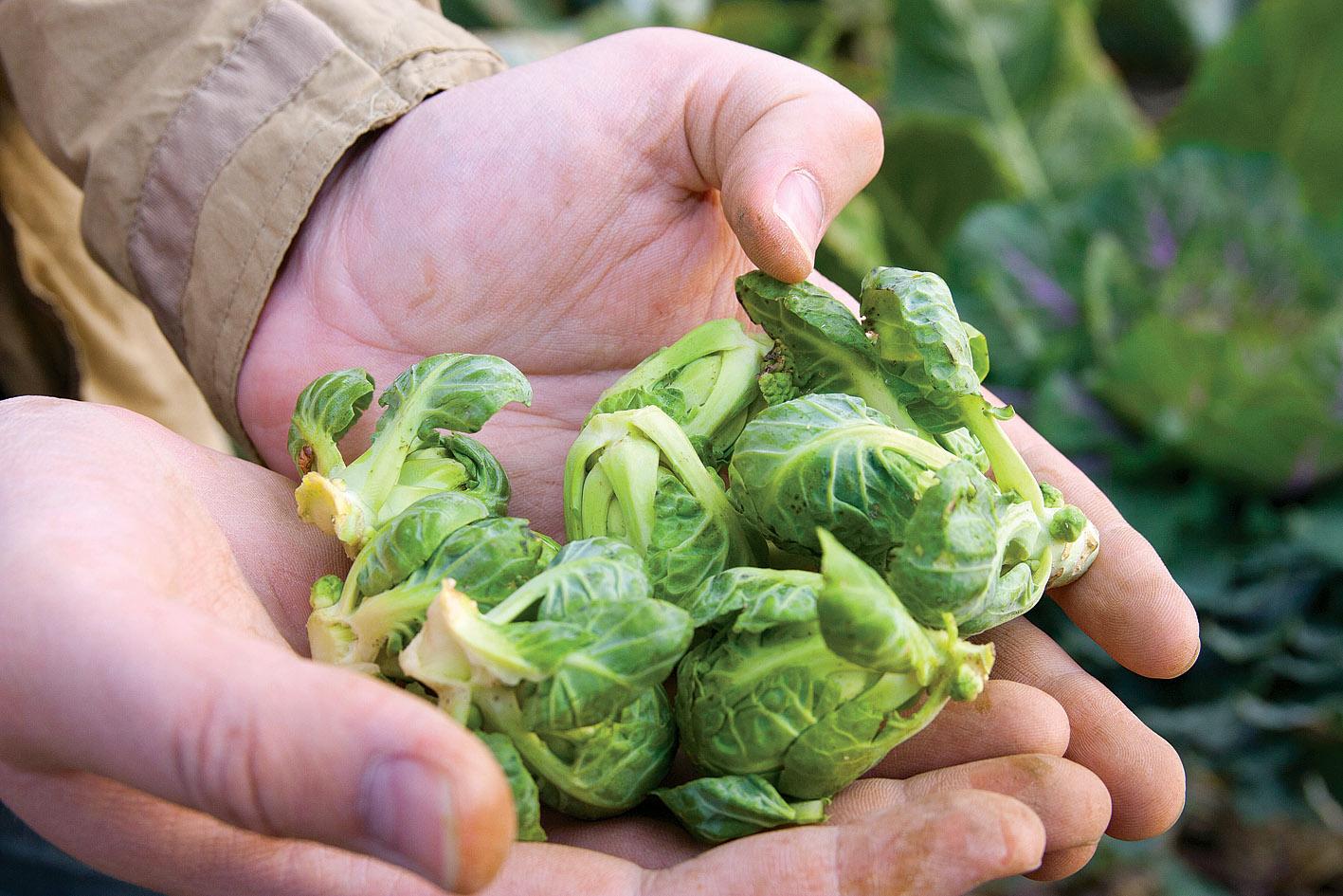выращивание брюссельской капусты из семян пошагово + фото 1
