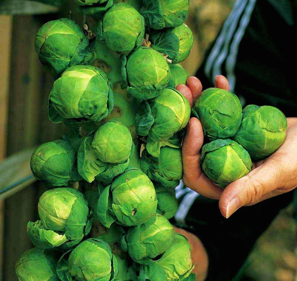 высадка рассады брюссельской капусты в открытый грунт фото