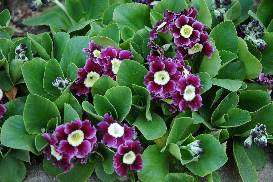 №6 - Примула опушённая или (Primula x pubescens) фото