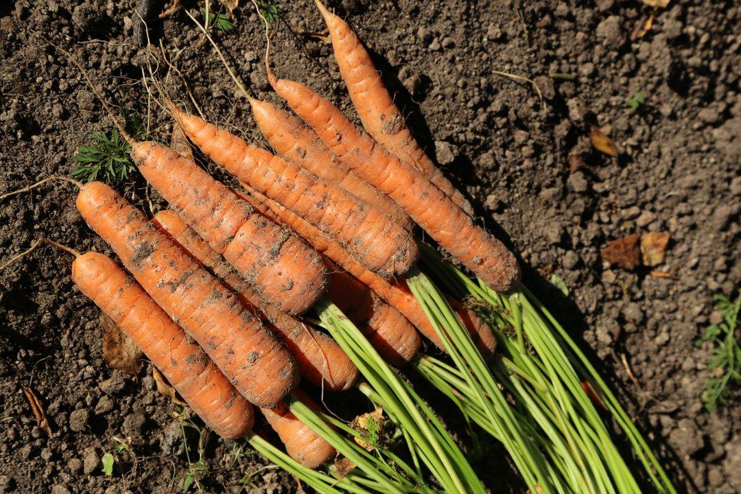 благоприятные дни для посева моркови в 2021 году по Лунному календарю: сроки по регионам, когда сажать фото