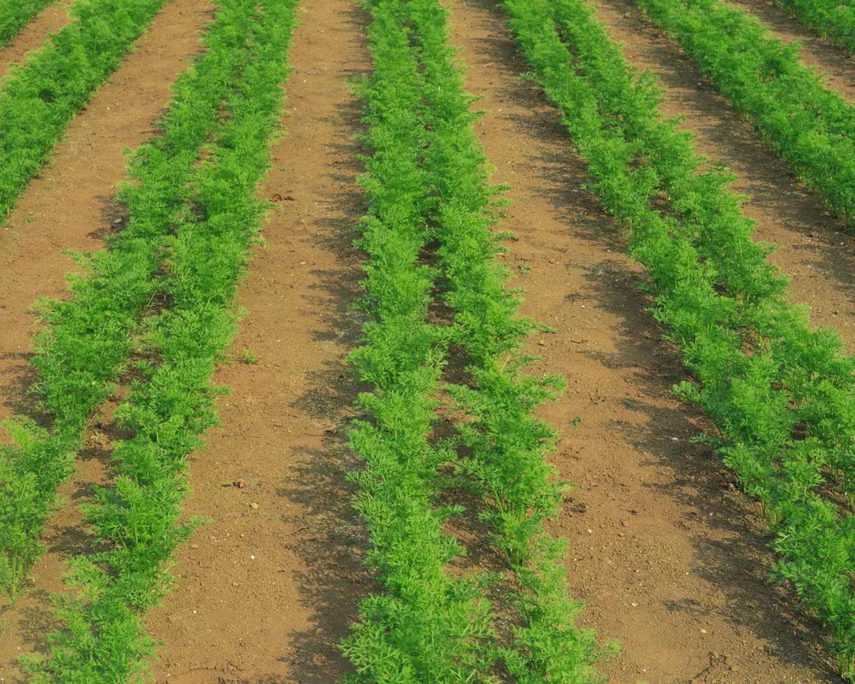 пошаговая инструкция: посадка моркови весной фото