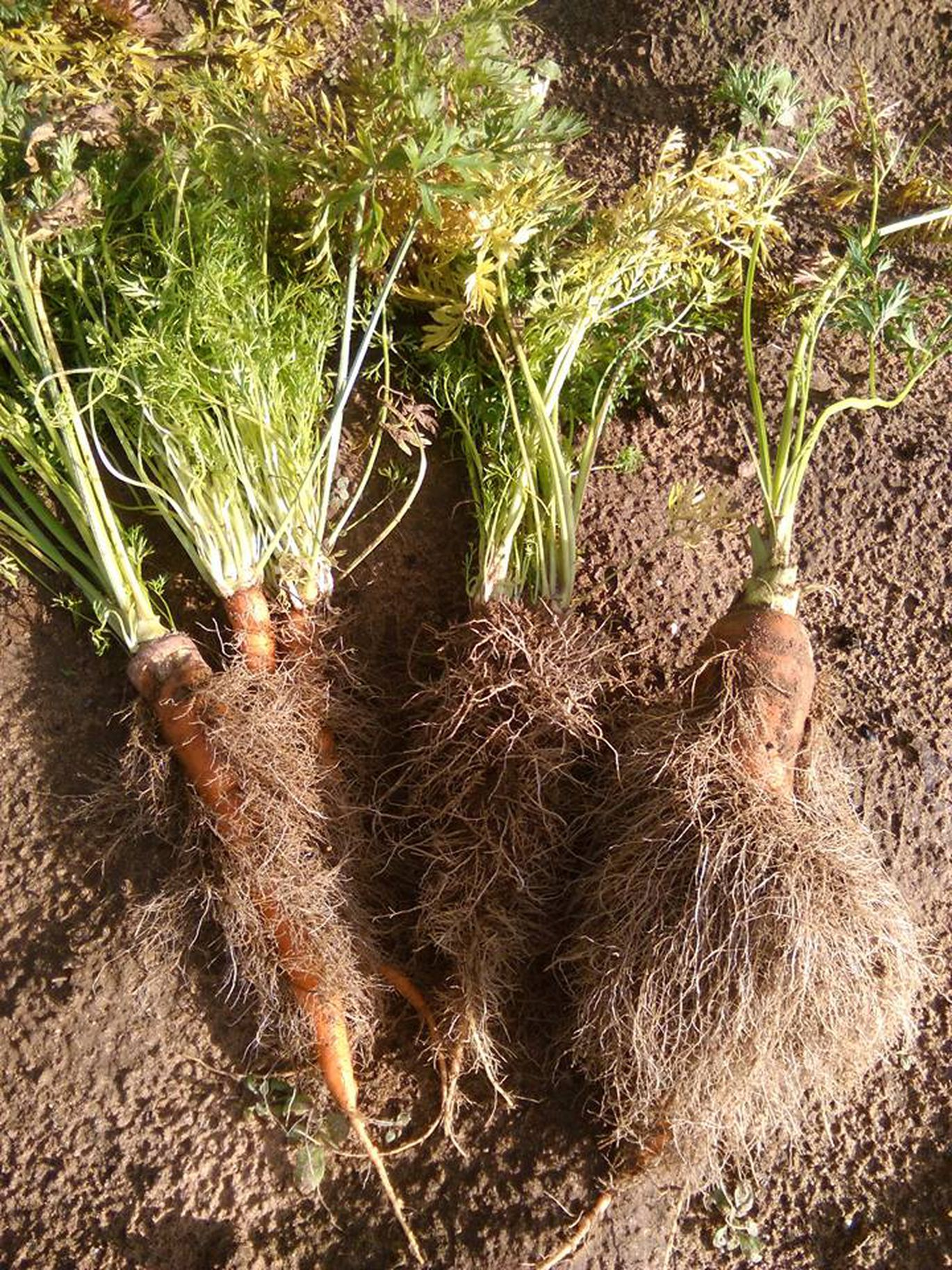 волосатая морковь: почему вырастает, причины фото