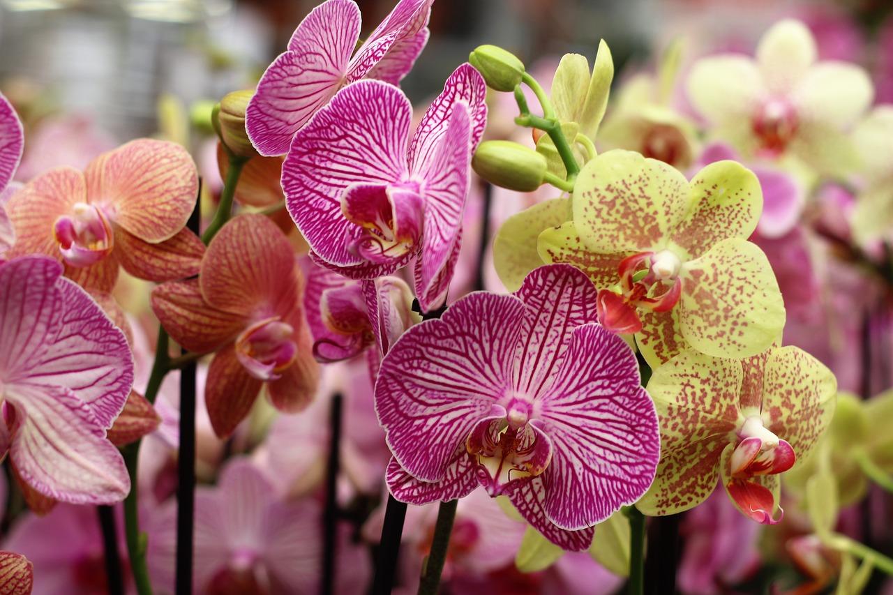 Орхидея Дендробиум и Фаленопсис фото