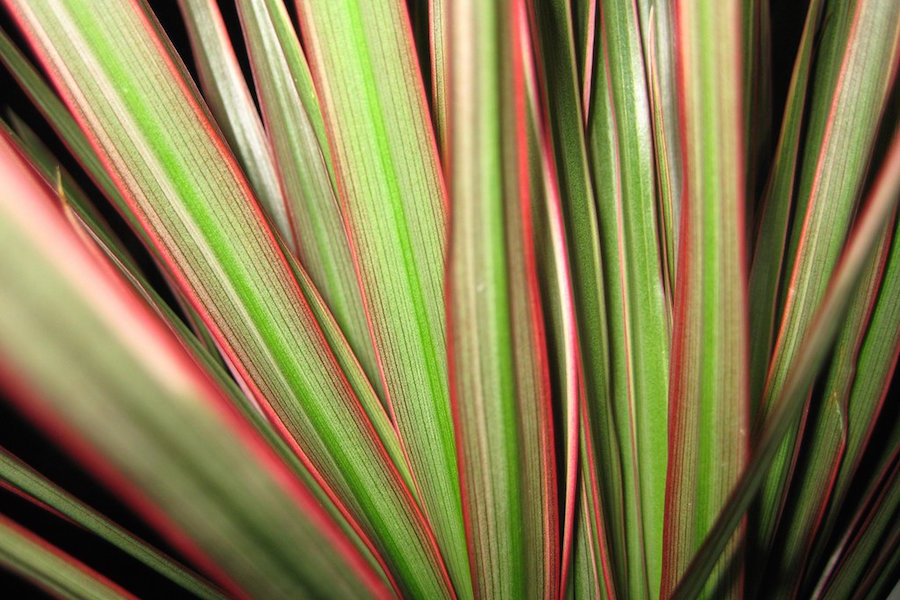 Канатик полосатый фото