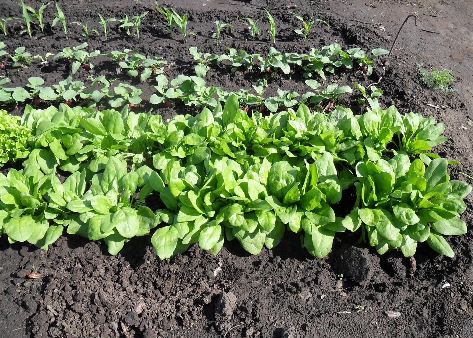 инструкция: как правильно посеять шпинат на рассаду фото