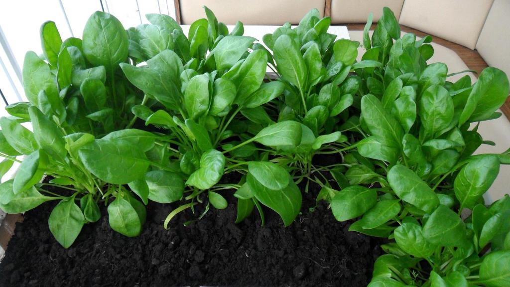правильный уход за рассадой шпината в домашних условиях: рекомендации и советы фото