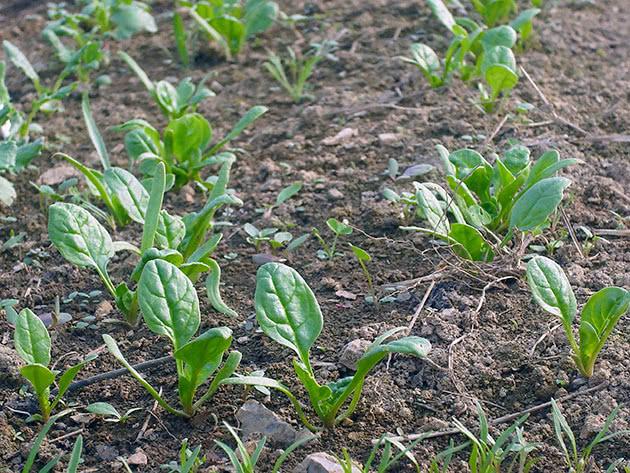 нужна ли пикировка при выращивании рассады шпинаты фото
