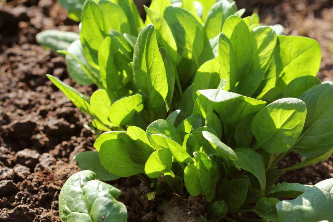 сроки посадки шпината в открытый грунт: когда лучше сажать и высаживать фото