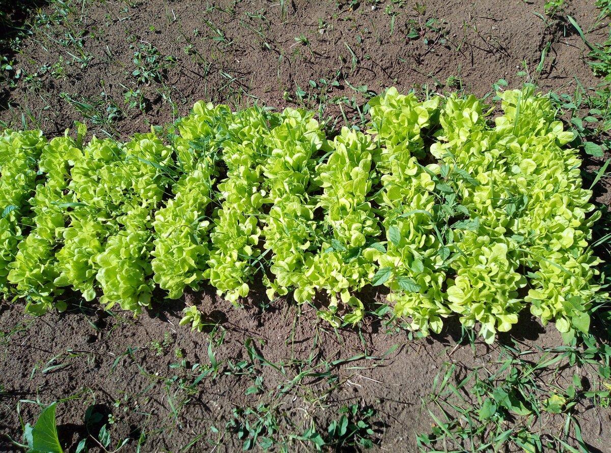 высадка шпината осенью и весной фото
