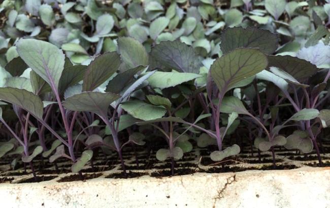 посев краснокочанной капусты в 2021 году по Лунному календарю в благоприятные дни фото