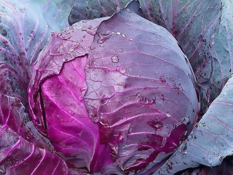 правила по посеву на рассаду краснокочанной капусты фото