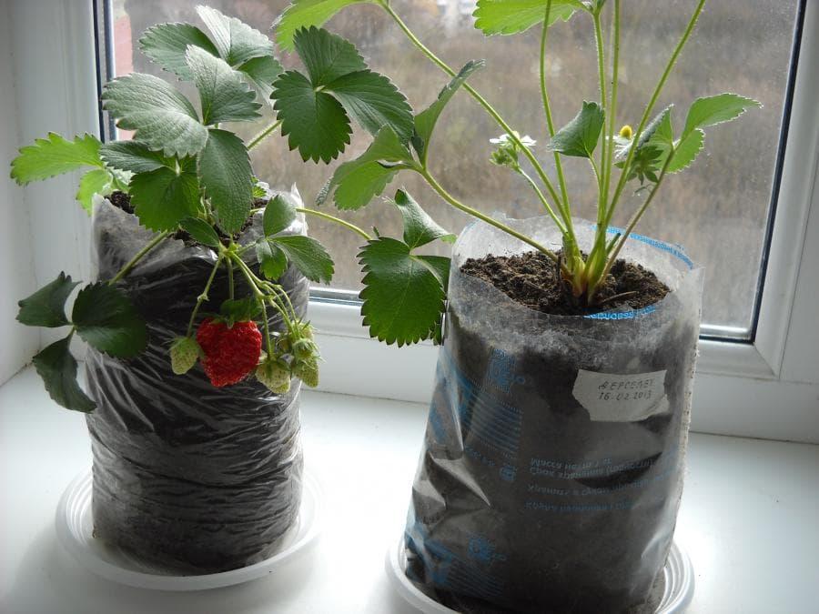 полноценное выращивание рассады клубники в домашних условиях фото