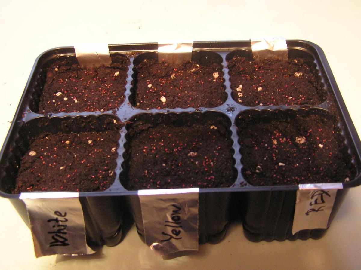 посев клубники семенами на рассаду фото