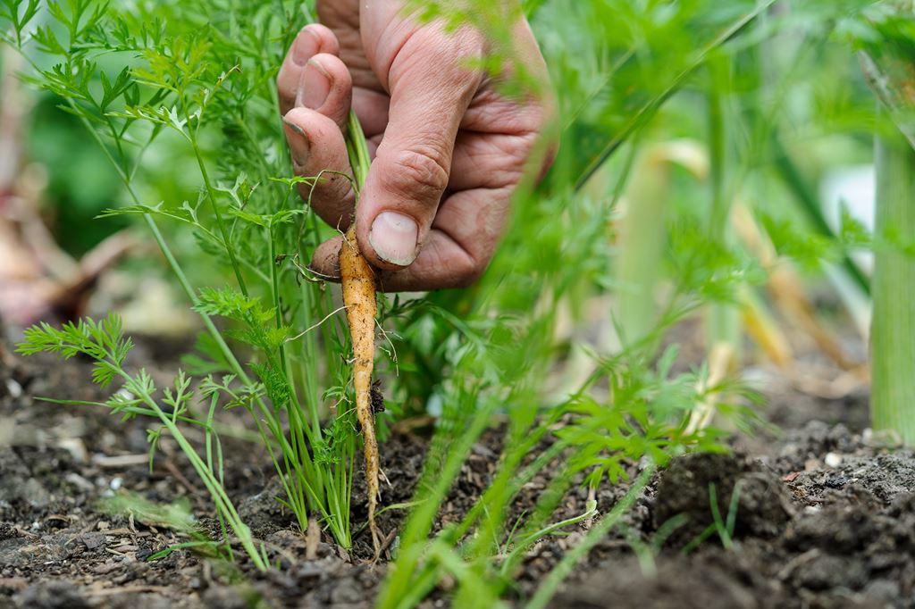 можно ли не прореживать морковь фото
