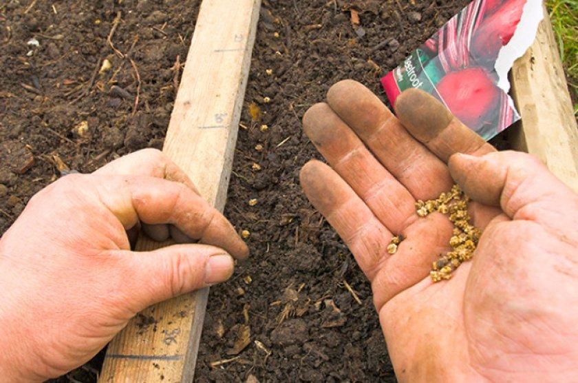 благоприятные дни для посева свеклы на рассаду в 2021 году фото