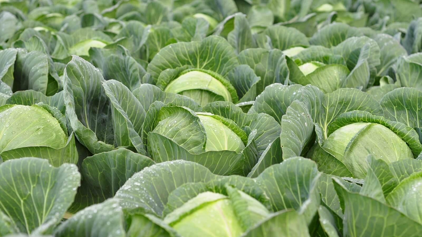 самые лучшие сорта капусты на 2021 год: вкусные и урожайные для разных регионов фото