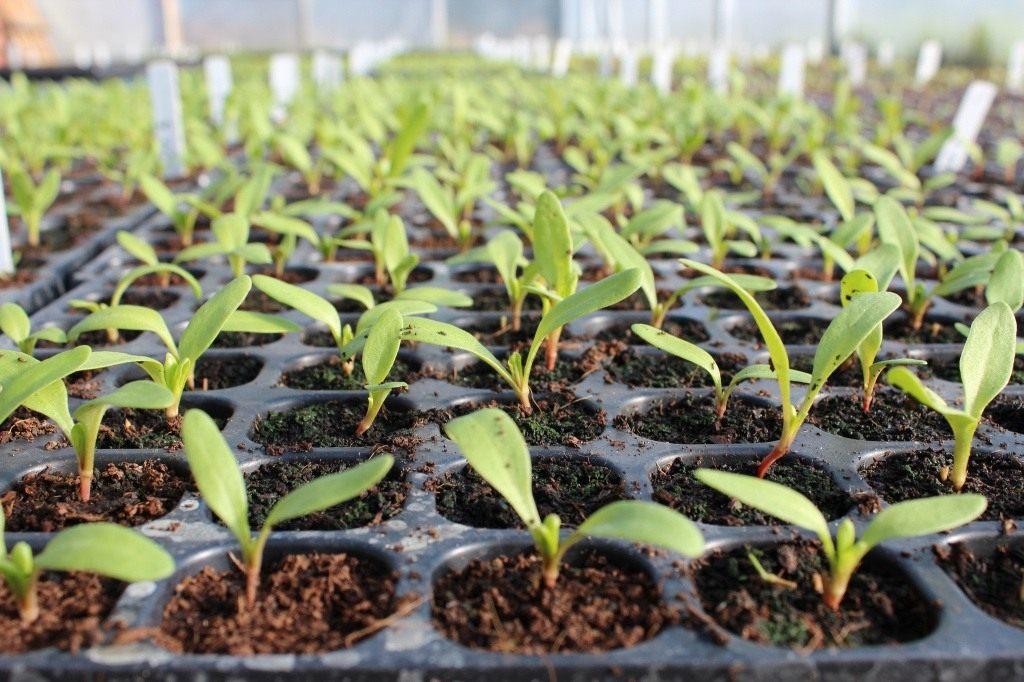 посадка семян свеклы в открытый грунт в 2021 году фото