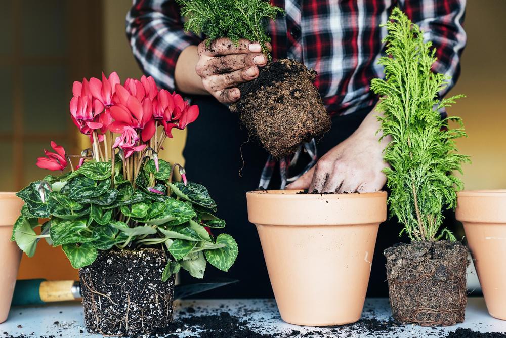 комнатные растения, когда и как пересаживать фото