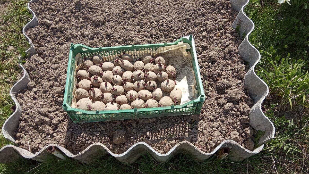 посадка картофеля в 2021 году: когда сажать картошку по Лунному календарю, сроки