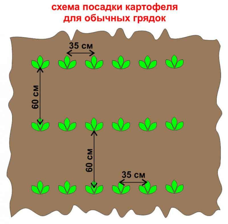 схема посадки: интервалы между клубнями и грядками фото