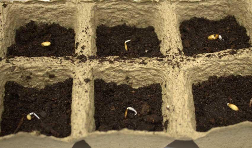 подготовка к посеву: калибровка и проращивание фото 1