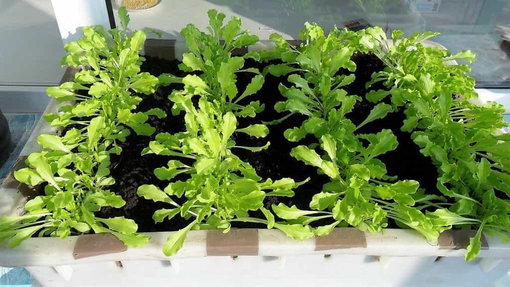 можно ли выращивать салат на подоконнике фото