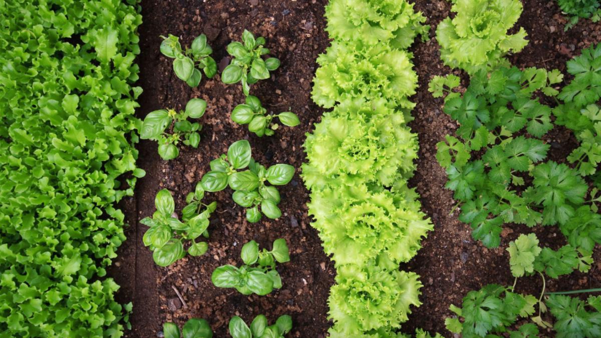 как выращивать салат в теплице и открытом грунте фото