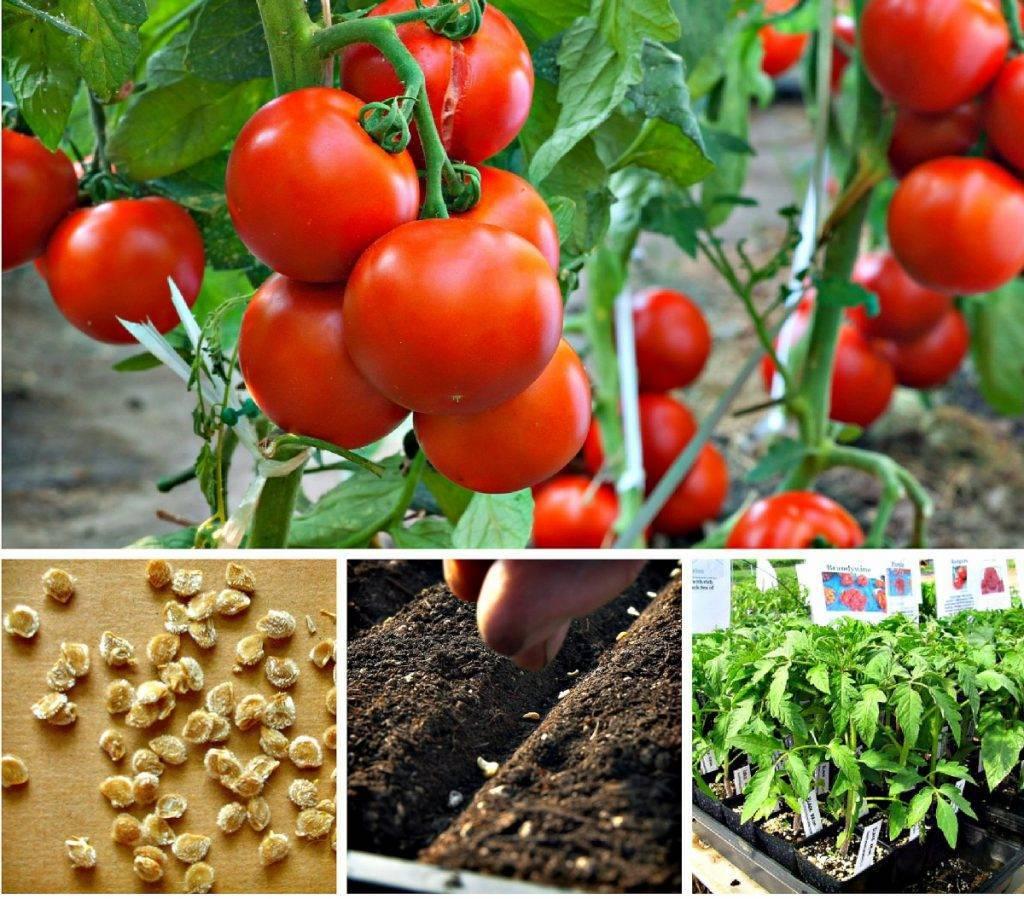сроки посева томатов по регионам: как определить день в апреле фото