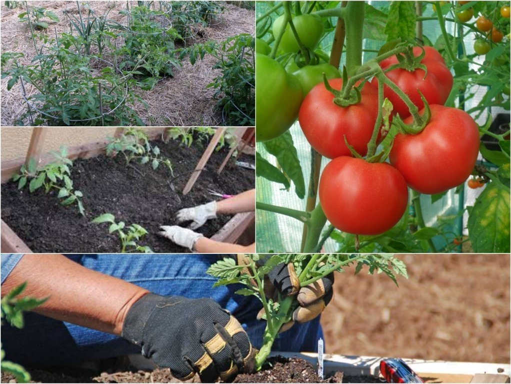 благоприятное влияние знаков зодиака на посадку томатов фото