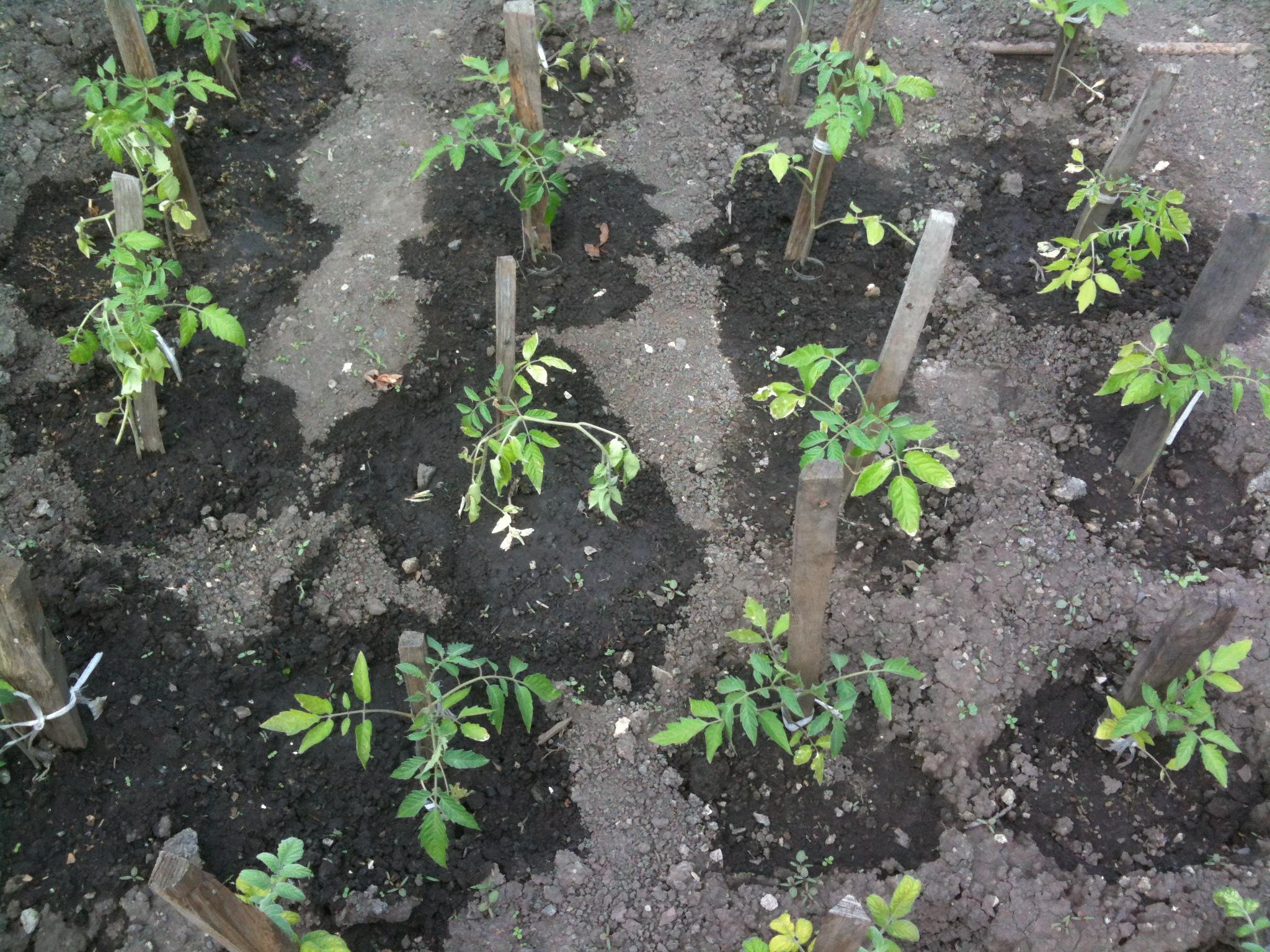 высадка рассады томатов в открытый грунт фото